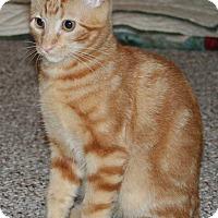 Adopt A Pet :: Ollie - Brighton, MO