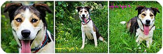 Australian Shepherd Mix Dog for adoption in Clarksville, Tennessee - Harper  **SPONSORED**