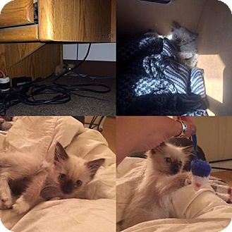 Siamese Kitten for adoption in Bakersfield, California - Buttercup