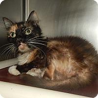 Domestic Shorthair Cat for adoption in Newport, North Carolina - Paisley