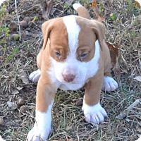Adopt A Pet :: Duke - pending - Manchester, NH