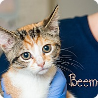 Adopt A Pet :: Beemer - Somerset, PA