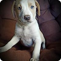 Adopt A Pet :: Drew - Cleveland, OH