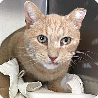 Domestic Shorthair Cat for adoption in East Brunswick, New Jersey - Bob Parker