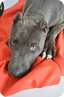 American Staffordshire Terrier Mix Dog for adoption in Aurora, Colorado - Maddox