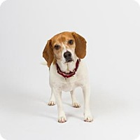 Adopt A Pet :: Bogey - Richmond, VA