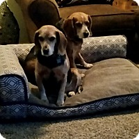 Adopt A Pet :: Bella and Roxi (bundle of love - Sterling Hgts, MI