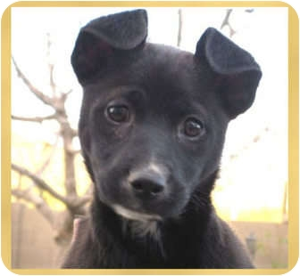Jack Russell Terrier Mix Puppy for adoption in Scottsdale, Arizona - Haven