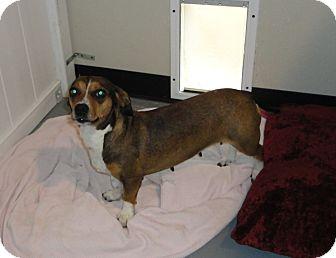 Dachshund/Beagle Mix Dog for adoption in Crocker, Missouri - Rascal