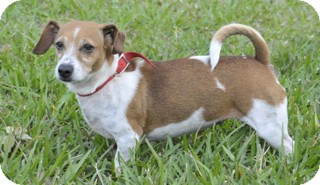 Dachshund/Terrier (Unknown Type, Small) Mix Dog for adoption in Norwalk, Connecticut - Aggie adoption pending