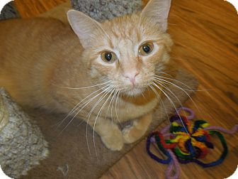 Domestic Shorthair Cat for adoption in Medina, Ohio - Arnie