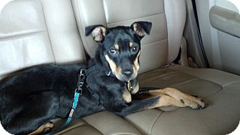 Miniature Pinscher Dog for adoption in Myersville, Maryland - Tony