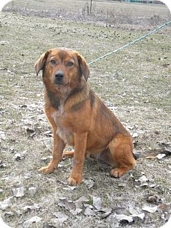 Golden Retriever/Corgi Mix Dog for adoption in River Falls, Wisconsin - Willy
