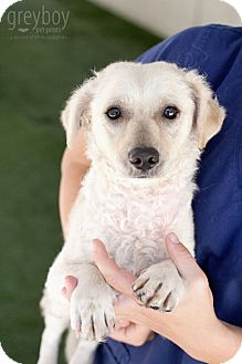 Poodle (Toy or Tea Cup)/Terrier (Unknown Type, Small) Mix Dog for adoption in Mission Viejo, California - Darby