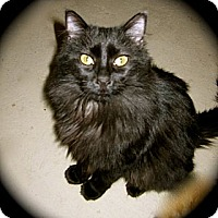 Domestic Longhair Cat for adoption in Grand Junction, Colorado - Ashley Bambi