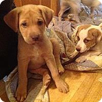 Adopt A Pet :: Barney - hartford, CT