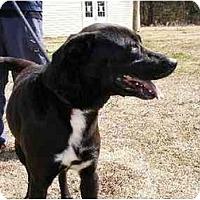 Adopt A Pet :: Shrek - Alexandria, VA
