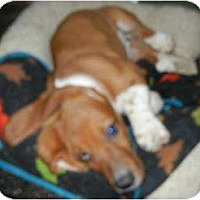 Adopt A Pet :: Barney LOVING AND FUN PUPPY!! - Antioch, IL