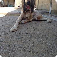 Adopt A Pet :: SarahJessicaBarker - Scottsdale, AZ
