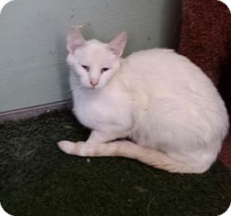 Siamese Cat for adoption in Tucson, Arizona - Donnie