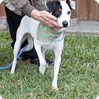 Adopt A Pet :: Petey - Norwalk, CT
