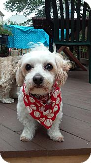 Maltese Mix Dog for adoption in Providence, Rhode Island - Romeo in RI $99