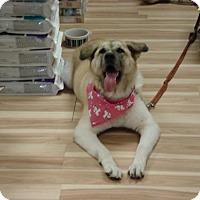 Adopt A Pet :: Kuma - Toronto, ON