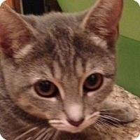 Domestic Shorthair Cat for adoption in Gainesville, Virginia - Cindy Loo Hoo