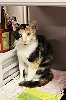Calico Kitten for adoption in New Richmond,, Wisconsin - Susie Q