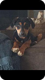 Dachshund Mix Puppy for adoption in Costa Mesa, California - Flash