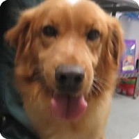 Adopt A Pet :: Golden mix - Lincolnton, NC