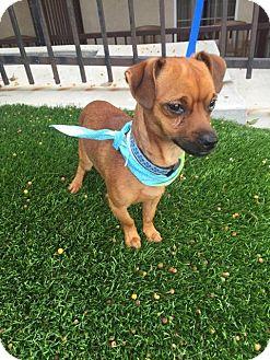 Dachshund/Chihuahua Mix Dog for adoption in Redondo Beach, California - Leroy