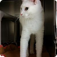 Domestic Shorthair Cat for adoption in Chippewa Falls, Wisconsin - Caren