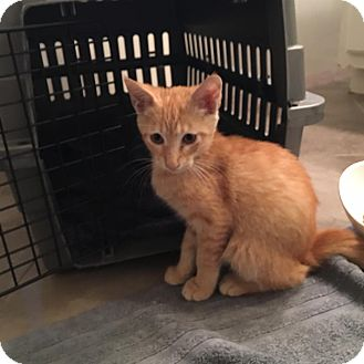American Shorthair Kitten for adoption in Sugar Land, Texas - Johnnathan