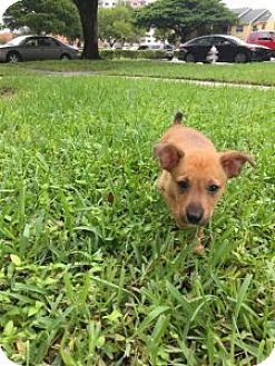 Terrier (Unknown Type, Medium) Mix Puppy for adoption in Pompano beach, Florida - Marco