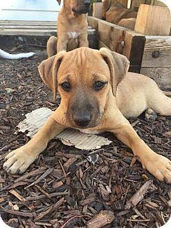 Boxer/Shepherd (Unknown Type) Mix Puppy for adoption in Denver, Colorado - Poko