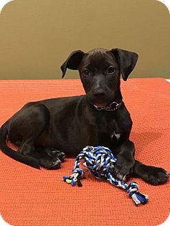 Labrador Retriever/Australian Shepherd Mix Puppy for adoption in New Oxford, Pennsylvania - Ida