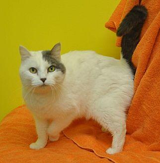 Domestic Shorthair Cat for adoption in Sunrise Beach, Missouri - Mia