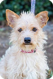 Norwich Terrier/Cairn Terrier Mix Dog for adoption in San Diego, California - Bauer
