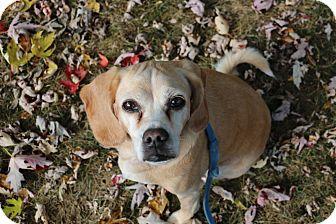 Beagle/Pug Mix Dog for adoption in Hartland, Michigan - Honey