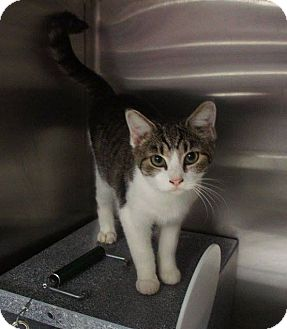 Domestic Shorthair Cat for adoption in Henderson, North Carolina - Gigi