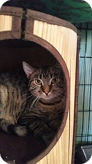 Domestic Shorthair Cat for adoption in Virginia Beach, Virginia - Angus