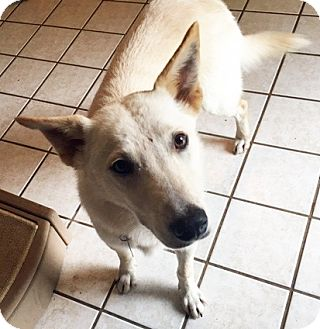 Labrador Retriever/Siberian Husky Mix Dog for adoption in San Antonio, Texas - Sullivan