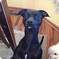 Miniature Pinscher/Chihuahua Mix Dog for adoption in Ashville, Ohio - Lulu