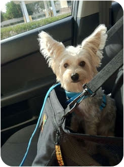 Yorkie, Yorkshire Terrier Mix Dog for adoption in The Villages, Florida - Quincy