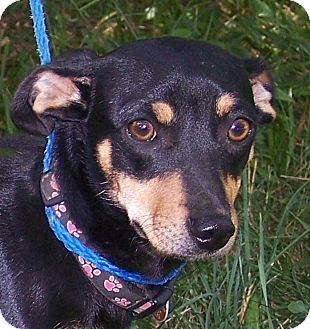 Dachshund/Beagle Mix Dog for adoption in Germantown, Maryland - Sadie