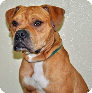 Boxer Mix Dog for adoption in Port Washington, New York - Gusto