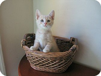 Domestic Shorthair Kitten for adoption in Richmond, Virginia - Puck