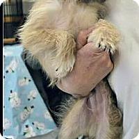Adopt A Pet :: Gizmo - Silsbee, TX