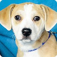 Adopt A Pet :: Dolly - Minneapolis, MN